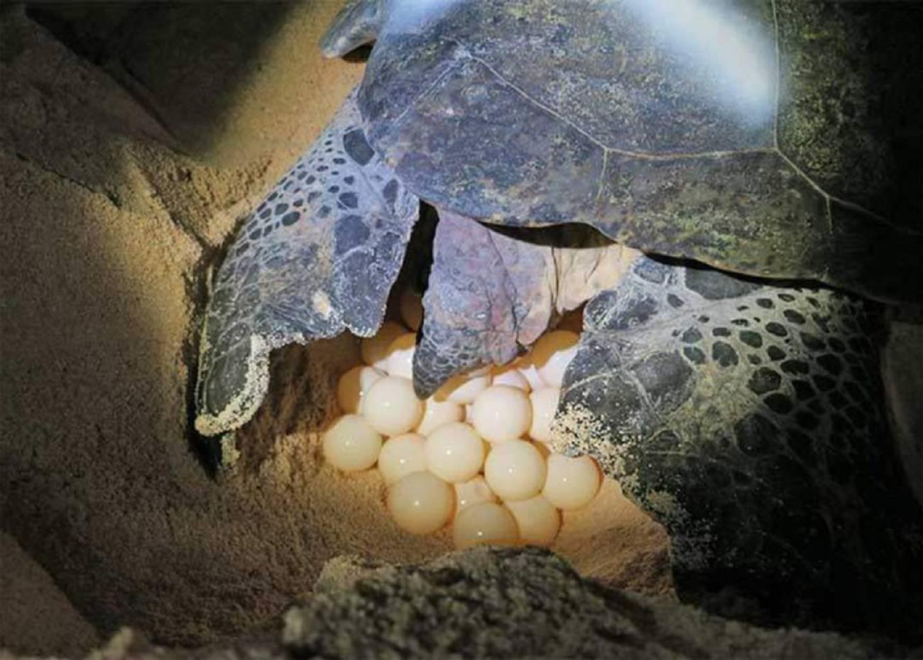 Encuentran de madrugada una tortuga desovando en una playa de La Manga